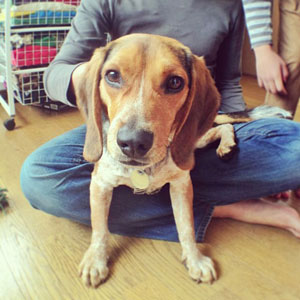Monte the beagle